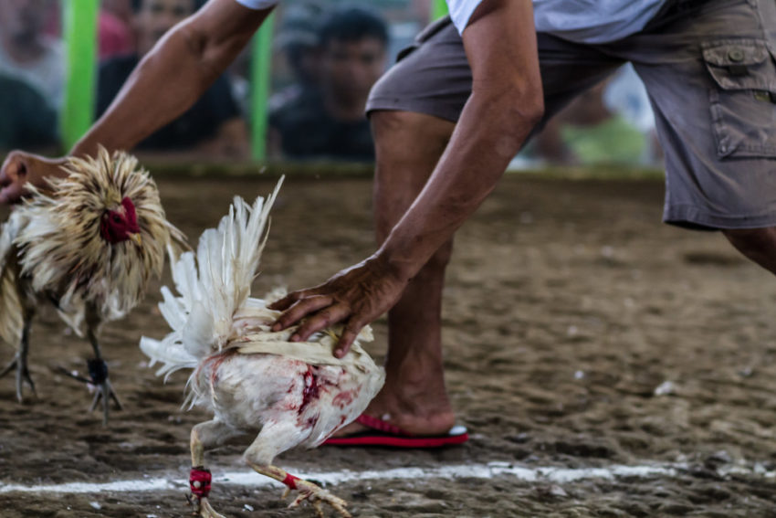 Tips Memilih Ayam Terbaik Untuk Aduan